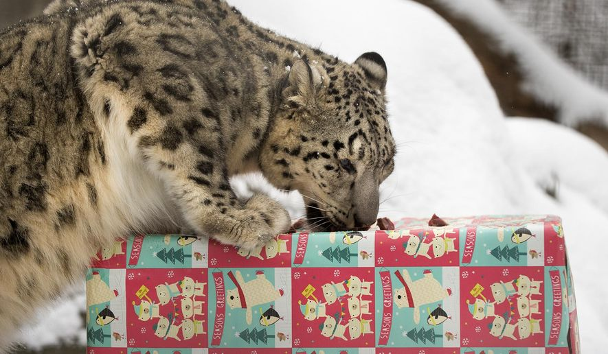 In this Thursday, Dec. 24, 2015 photo, Ranny, a female snow leopard, eats raw meat given as a Christmas gift at Lincoln Children's Zoo in Lincoln, Neb. (Gwyneth Roberts/The Journal-Star via AP) MANDATORY CREDIT