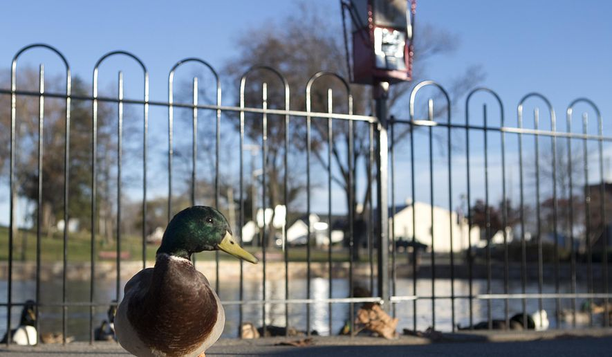 ADVANCED FOR RELEASE SATURDAY, DECEMBER 26, 2015 A duck waddles near one of a few new coin operated feeders at Lake Spring Park in Salem, Va., on Thursday, Dec. 3, 2015. Also seen is the 900-foot fence surrounding the two ponds. Updates have been made after complaints were made of the volume of duck excrement surrounding the city park. The feeders are in place to encourage healthier eating and to maintain a more stable living environment. (Erica Yoon/The Roanoke Times via AP)