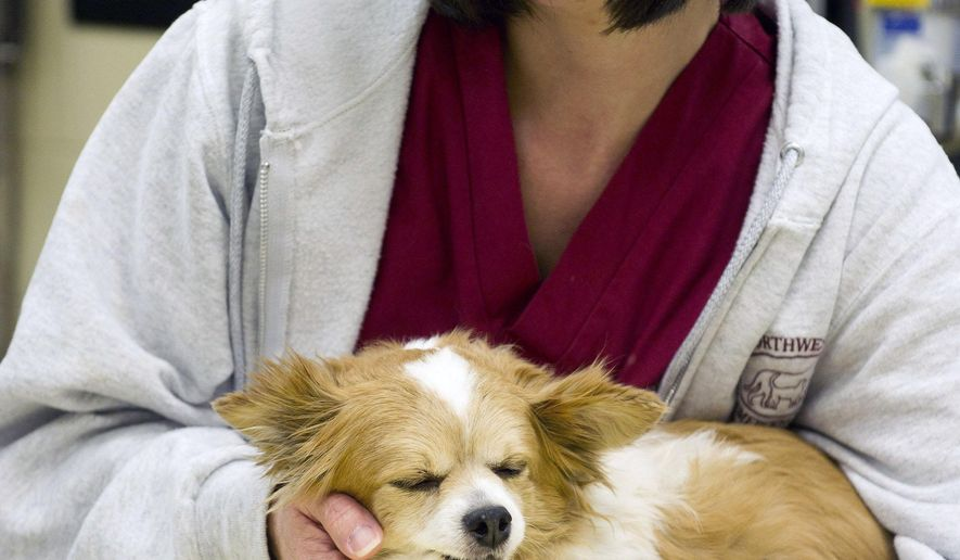 ADVANCE FOR WEEKEND EDITIONS DEC. 26-27 - In this Dec. 17, 2015 photo, Northwests PA Pet Emergency Center veterinary technician Shelly Ives, 40, of Saegertown, Pa., comforts 10-year-old Chihuahua Taco Bell at the after-hours pet emergency facility in Erie, Pa. The dog suffered a dislocated hip from an apparent fall earlier that night and was in pain, but since the family's veterinarian was not open in the evening, the pet emergency center was the only local option available for Taco Bell's Waterford, Pa., owners Bill and Margie Conover.  (Andy Colwell/Erie Times-News via AP)  MANDATORY CREDIT; MAGS OUT