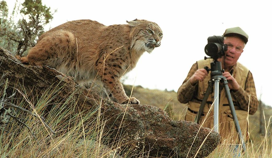 FILE - This Sept. 2, 1998 file photo still photographer, George Robbins, of Powell, Wyo., takes photos of a bobcat at Animals of Montana, wildlife casting agency northwest of Bozeman, Mont. A Montana wildlife casting agency where an employee was fatally mauled three years ago is facing the loss of its permit because of violations that include instructing a member of the public to approach a tiger during a photo shoot in Detroit this summer. (David Grubbs/Billings Gazette via AP) MANDATORY CREDIT