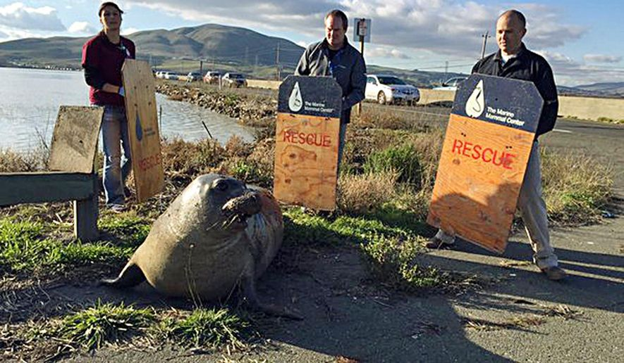 In this photo provided by the California Highway Patrol, wildlife experts from the Marine Mammal Center in Sausalito attempt to corral an elephant seal that repeatedly tried to cross a highway, slowing traffic in Sonoma, Calif., Monday, Dec. 28, 2015. CHP spokesman Officer Andrew Barclay says callers first reported the 500-pound mammal was trying to climb the divider wall of Highway 37 near Sears Point in Sonoma. He says U.S. Fish and Wildlife Service crews and CHP officers managed to usher the adult seal back into the San Francisco Bay. But it got back out of the water again at least twice. (California Highway Patrol via AP)