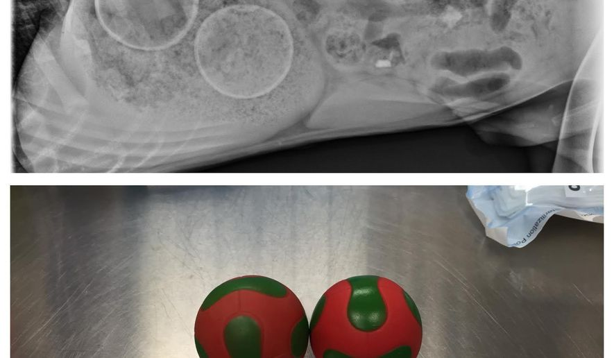 This combination of photos provided by the Veterinary Specialty & Emergency Center in Levittown, Pa., shows an X-ray of two balls lodged in a puppy's stomach, above, and the balls after they were surgically retrieved on Saturday, Dec. 26, 2015. The 6-month-old puppy, a Cane Corso named Jasper, is already back on his feet. (Veterinary Specialty & Emergency Center via AP)