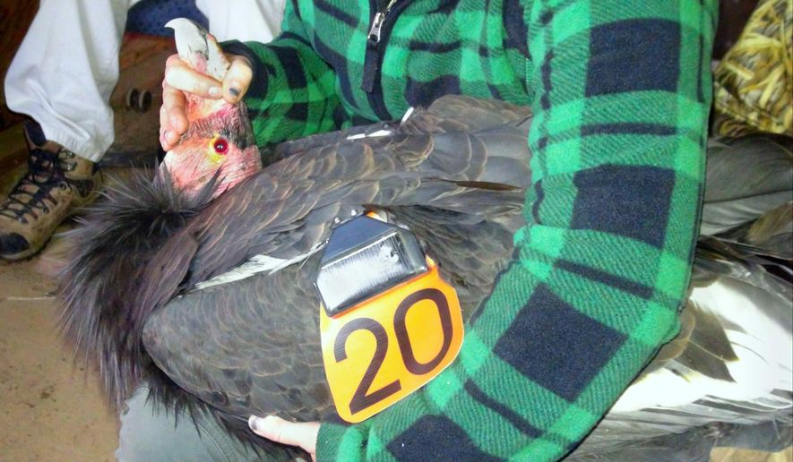 In this Dec. 28, 2015 photo provided by the U.S. Fish and Wildlife Service, a California condor designated AC-4, whose captive breeding helped save the species, is re-branded as California condor 20 before its release at the Bitter Creek National Wildlife Refuge near Maricopa, Calif. AC-4 fathered the first condor chick born in captivity, and went on to sire 29 more chicks for reintroduction to the wild. (Jon Myatt/U.S. Fish and Wildlife Service via AP)