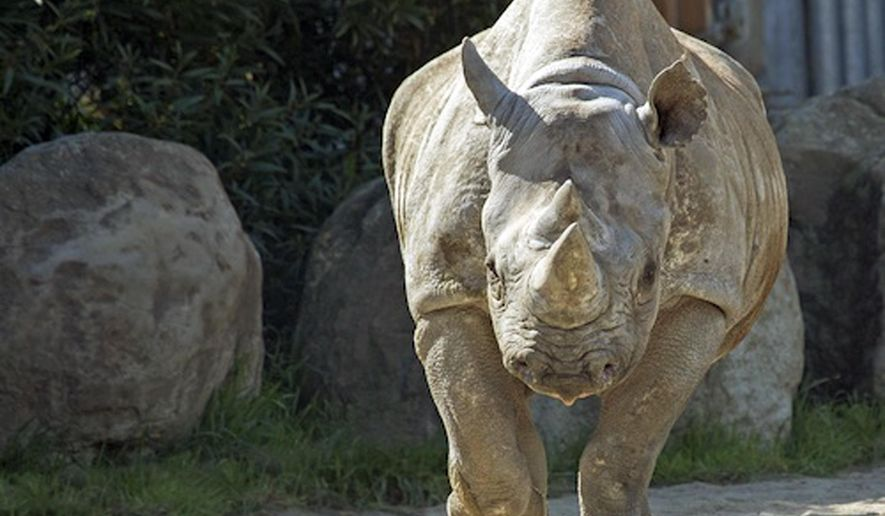 This photo provided by the San Francisco Zoo shows Elly as the zoo celebrates the 45th birthday of the oldest black rhinoceros in North America, on Jan. 1, 2016 in San Francisco. The exact date of Elly's birth isn't known, as she was born in the wild. But she has lived at the zoo since April 1974. Elly has given birth to 14 calves, helping preserve a critically endangered species.(San Francisco Zoo via AP)