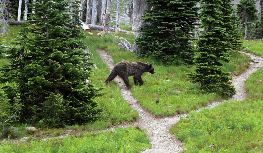 FILE - In this Aug. 3, 2014, file photo, a grizzly bear walks through a back country campsite in Montana's Glacier National Park. Wildlife officials have divvied up how many grizzly bears could be killed by hunters in the Yellowstone region of Wyoming, Montana and Idaho. The move comes as the states seek control of a species shielded from hunting for the past 40 years.  (Doug Kelley/The Spokesman-Review via AP, File) COEUR D'ALENE PRESS OUT; MANDATORY CREDIT