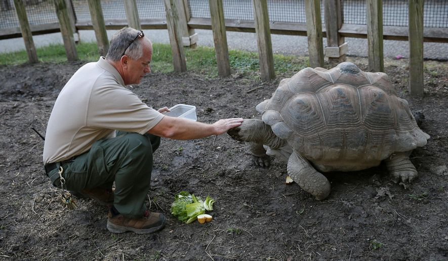 ADVANCE FOR MONDAY JAN. 11 AND THEREAFTER - In a Tuesday, Oct. 13, 2015 photo, keeper Roman Kantorek feeds an aldabra tortoise while on his nightly duties at the Dallas Zoo in Dallas. The 62-year-old Polish immigrant worked at the zoo 23 years before retiring in 2009. But he returned in 2012. (Andy Jacobsohn/The Dallas Morning News via AP)
