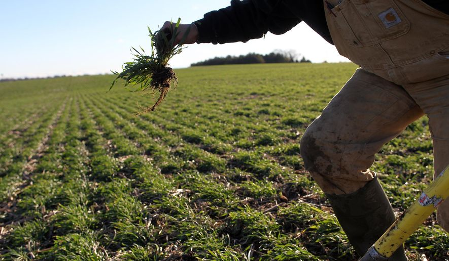 ADVANCE FOR USE SATURDAY, JAN. 9 - In this photo taken Dec. 16, 2015, Steve Berger displays the roots of cereal rye cover crops at his farm in Wellman, Iowa. Berger is an advocate for cover crops and no-till farming, and the benefits they have for farms and communities. (David Scrivner /Iowa City Press-Citizen via AP)  NO SALES; MANDATORY CREDIT