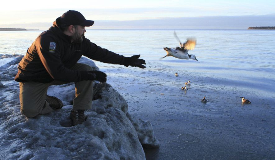 In this Jan. 5, 2016 photo, Guy Runco, director of the Bird Treatment and Learning Center, releases a common murre near the Anchorage small boat harbor in Anchorage, Alaska. The center has treated hundreds of common murres found emaciated along beaches or in inland communities far from the ocean. Thousands of other murres have died of starvation and federal scientists are trying to determine why. (AP Photo/Dan Joling)