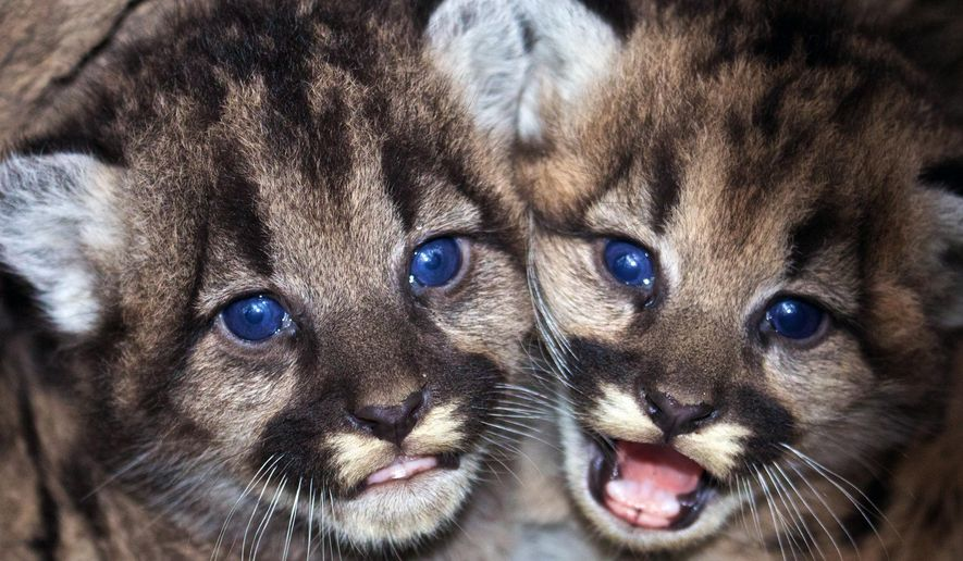 File- This Dec. 22, 2015 photo provided by the National Park Service shows kitten siblings P-46 and P-47 at their den in the western Santa Monica Mountains. The National Park Service says biologists recently discovered the two mountain lion kittens in the Santa Monica Mountains west of Los Angeles. Santa Monica Mountains National Recreation Area biologist Jeff Sikich says the successful reproduction indicates the quality of the habitat is high for the relatively urbanized area. (National Park Service via AP, File)