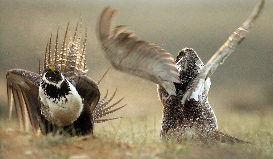 FILE - In this May 9, 2008 file photo, male sage grouses fight for the attention of female southwest of Rawlins, Wyo. Montana officials will decide Thursday, Jan. 14, 2016 whether to relocate dozens of sage grouse to Alberta to help restore the struggling bird population in the Canadian province. Several Montana lawmakers oppose the plan.(Jerret Raffety/Rawlins Daily Times via AP, File)