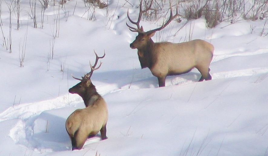 ADVANCE FOR SUNDAY JAN. 24 - In this undated photo provided by the Minnesota Department of Natural Resources, elk are seen in the snow near Grygla, Minn. The Fond du Lac Band of Ojibwe is seeking $300,000 from the Legislature for a two-pronged study on the feasibility of restoring elk (to northeastern Minnesota. (Marshal Deters/Minnesota Department of Natural Resources via AP)
