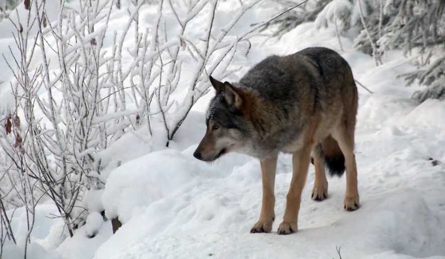 In this image made from video taken on Monday, Dec. 14, 2015, a wolf walks through the snow at a wolf enclosure in Ranua Wildlife Park in Ranua, Finland. Finnish authorities say a second, government-sanctioned trial wolf hunt is set to begin Saturday in an attempt to manage numbers and curb poaching. Finland's state Wildlife Agency says 46 licenses have been given out for the hunting period that ends Feb. 21. The agency said Friday, Jan. 22, 2016 17 that wolves were killed in 2015, the first year of the trial cull. (AP Video via AP)