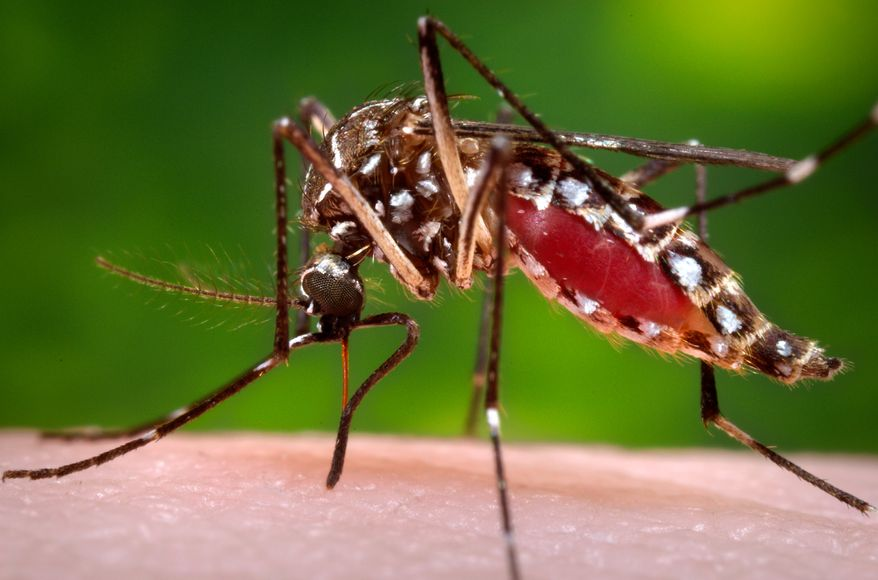 This 2006 file photo provided by the Centers for Disease Control and Prevention shows a female Aedes aegypti mosquito in the process of acquiring a blood meal from a human host. The The Centers for Disease Control and Prevention on Tuesday, Jan. 19, 2016, announced new guidance for doctors whose pregnant patients may have traveled to regions with a tropical illness linked to birth defects. Officials say doctors should ask pregnant women about their travel and certain symptoms, and, if warranted, test them for an infection with the Zika virus. The virus is spread through mosquito bites. (James Gathany/Centers for Disease Control and Prevention via AP, File)
