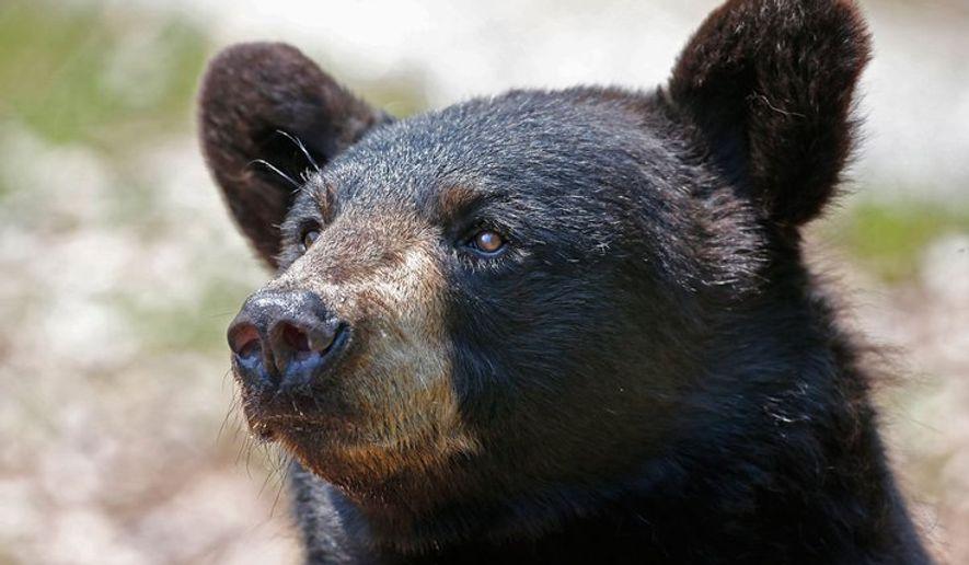 Portrait of a black bear (AP Photo)