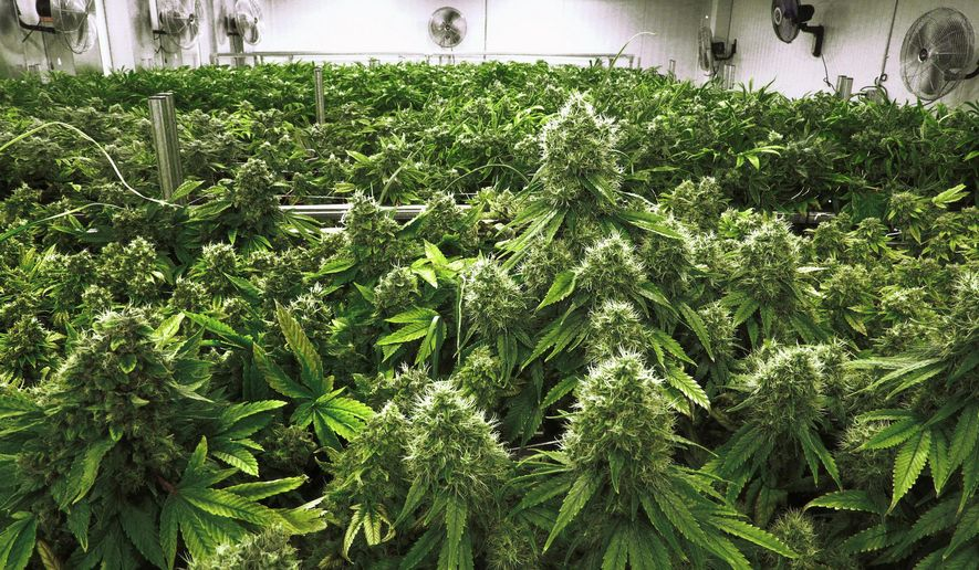 "In this Tuesday, Sept. 15, 2015, file photo, marijuana plants with their buds covered in white crystals called trichomes are a few weeks away from harvest in the ""Flower Room"" at the Ataraxia medical marijuana cultivation center in Albion, Ill. (AP Photo/Seth Perlman, File)"