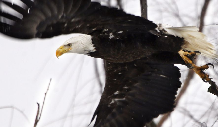 A bald eagle takes flight Monday, Feb. 1, 2016, at the Museum of the Shenandaoh Valley in Winchester, Va. (Scott Mason/The Winchester Star via AP) ** FILE **