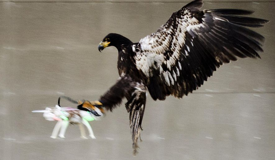 In this image released by the Dutch Police Tuesday Feb. 2, 2016, a trained eagle puts its claws into a flying drone. Police are working with a The Hague-based company that trains eagles and other birds to swoop down on small drones and grasp them in their talons in restricted areas or where they are banned, such as at large outdoor events. (Dutch Police via AP)