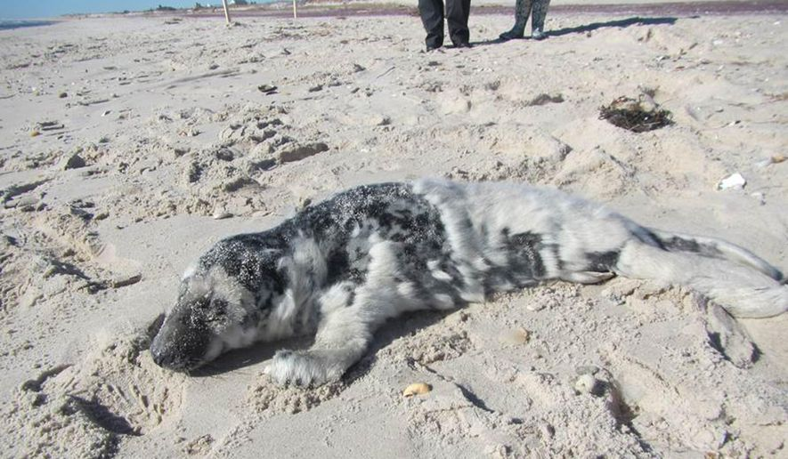 In this image provided by the Riverhead Foundation for Marine Research and Preservation, a 1-month-old male gray seal pup is found on a beach in Hampton Bays, N.Y., Tuesday, Feb. 2, 2016. The marine animal rescue group says the pup was lethargic and underweight. It is being treated at the foundation's Riverhead facility. (Daniella Ferina, Riverhead Foundation for Marine Research and Preservation via AP)