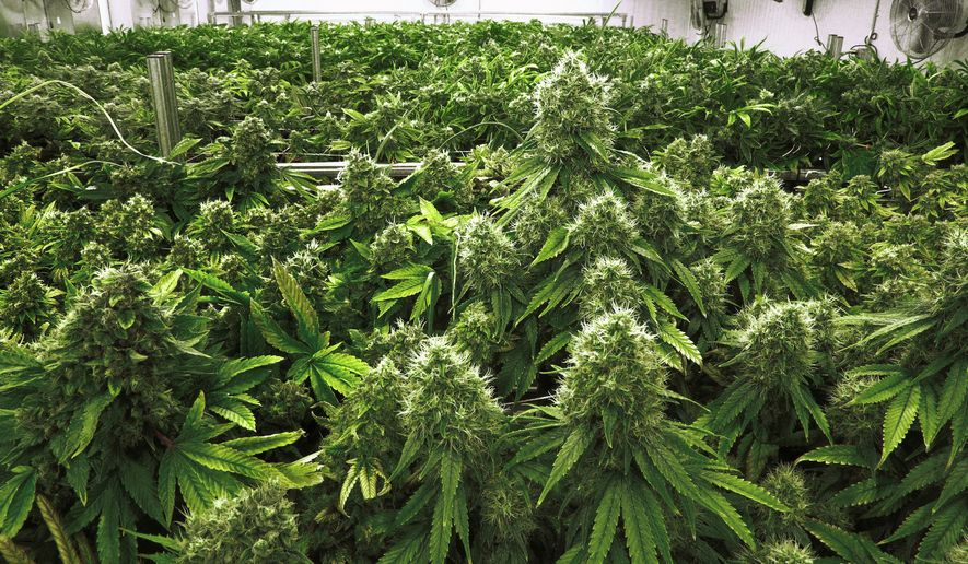 """In this Tuesday, Sept. 15, 2015 file photo, marijuana plants with their buds covered in white crystals called trichomes, are a few weeks away from harvest in the """"Flower Room"""" at the Ataraxia medical marijuana cultivation center in Albion, Ill. (AP Photo/Seth Perlman, File)"""