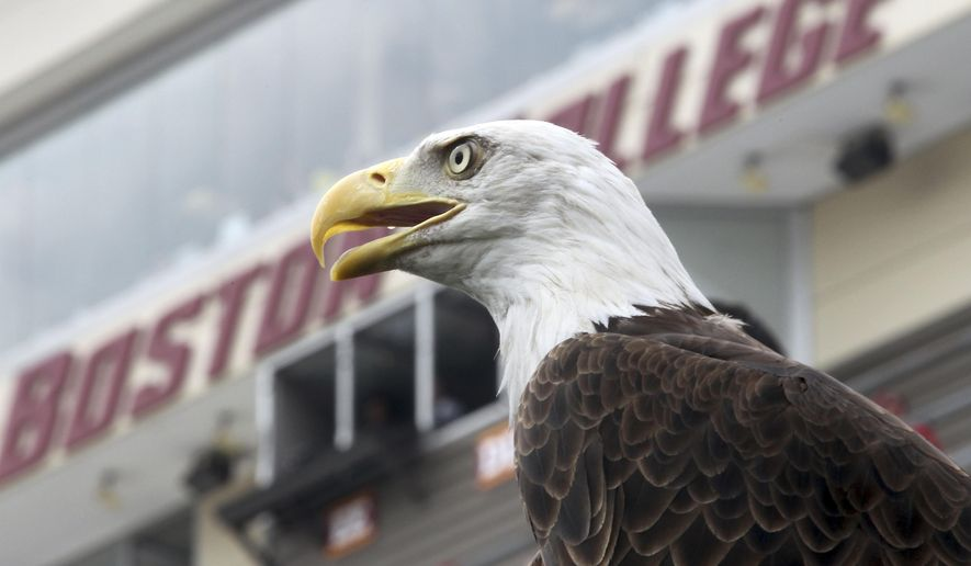 FILE - In this Aug. 31, 2013 file photo, a bald eagle from Zoo New England looks out over the field before the start of an NCAA college football game between Villanova and Boston College in Boston. In 2015 the number of bald eagles in Massachusetts reached a record high since the majestic birds of prey were reintroduced to the state in 1982. The increase was driven in large part by a surprising population boom in the more urban areas of the state near Boston.  (AP Photo/Mary Schwalm, File)