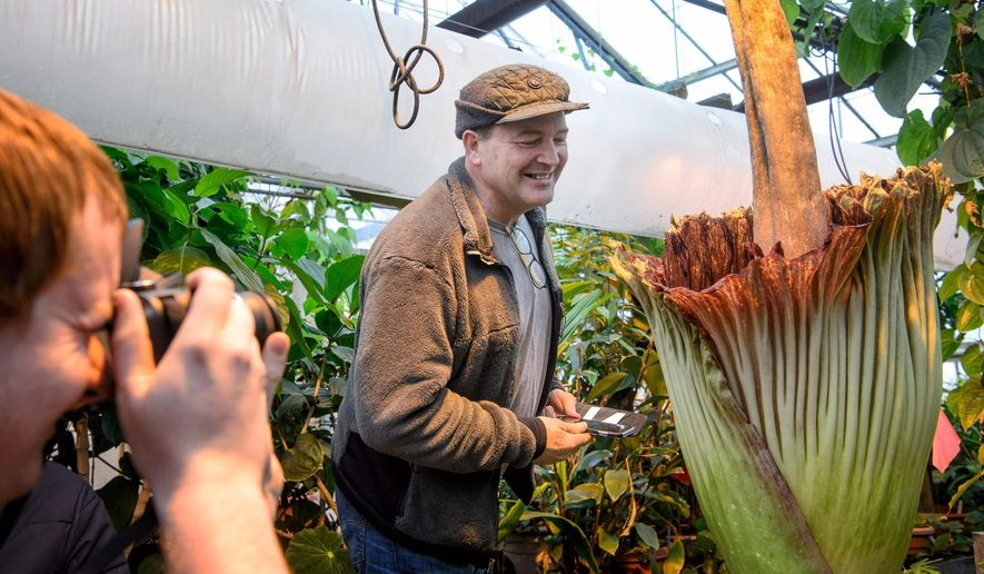 Minnesota State Rep Leon Lillie leaned in for a whiff of the corpse flower, Monday, Feb. 8, 2016, in St. Paul, Minn. The University of Minnesota's corpse flower bloomed overnight and a few thousand visitors lined up for the privilege of smelling its pungent smell that some compared to rotting fish.  (Glen Stubbe/Star Tribune via AP)