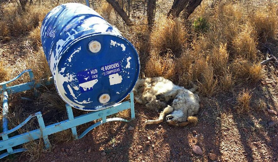 In this Tuesday, Feb. 9, 2016 photo provided by Humane Borders, the carcass of a coyote is shown next to a 55-gallon water container left in the southern Arizona desert near the town of Arivaca. Humane Borders says somebody shot at the container and left the dead coyote next to it. The organization leaves water for migrants who cross illegally from Mexico through Arizona. The Pima County Sheriff's Department is investigating.(Joel Smith/Humane Borders via AP)