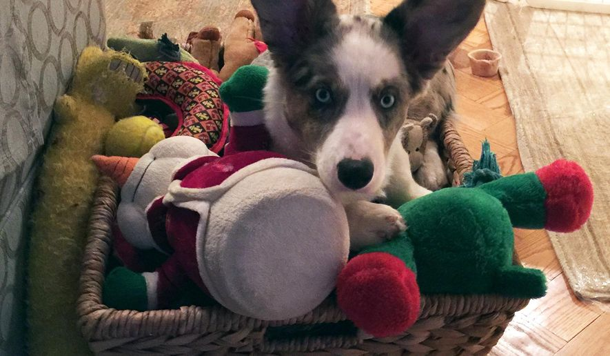 In this Feb. 4, 2016, photo provided by Angela Reilly, Frankie, a Cardigan Welsh corgi pup, sits among toys in the New York apartment of his breeder, Angela Reilly. Reilly is among the relatively small ranks big-city dwellers who work to breed show-quality dogs.(Angela Reilly via AP)