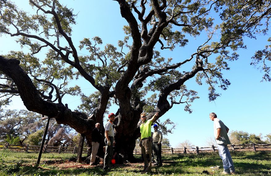"Arborists gather around the ""Big Tree"" as they prepare to remove built up soil from around the base of the tree during a root collar excavation Friday, Feb. 12, 2016, at Goose Island State Park in Rockport, Texas. (Gabe Hernandez/Corpus Christi Caller-Times via AP)"