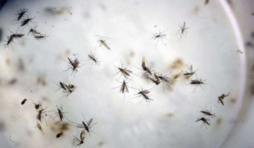 This is a Thursday, Feb. 11, 2016, file photo of aedes aegypti mosquitoes in a mosquito cage at a laboratory in Cucuta, Colombia. The World Health Organization says it may be necessary to use controversial methods like genetically modified mosquitoes to wipe out the insects that are spreading the Zika virus across the Americas.  (AP Photo/Ricardo Mazalan, File)