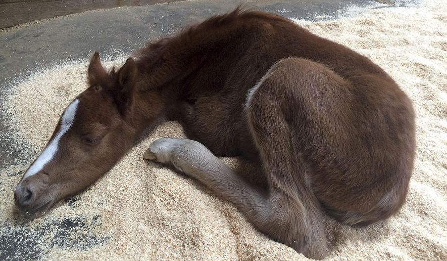 This Feb. 14, 2016 photo provided by the Fremont Police Department shows a baby horse resting Pleasanton, Calif. The colt, named Valentine because it was rescued on Valentine's Day, has a broken pelvis and is recovering after being rescued from the bottom of a steep ravine. (Fremont Police Animal Services via AP) MANDATORY CREDIT