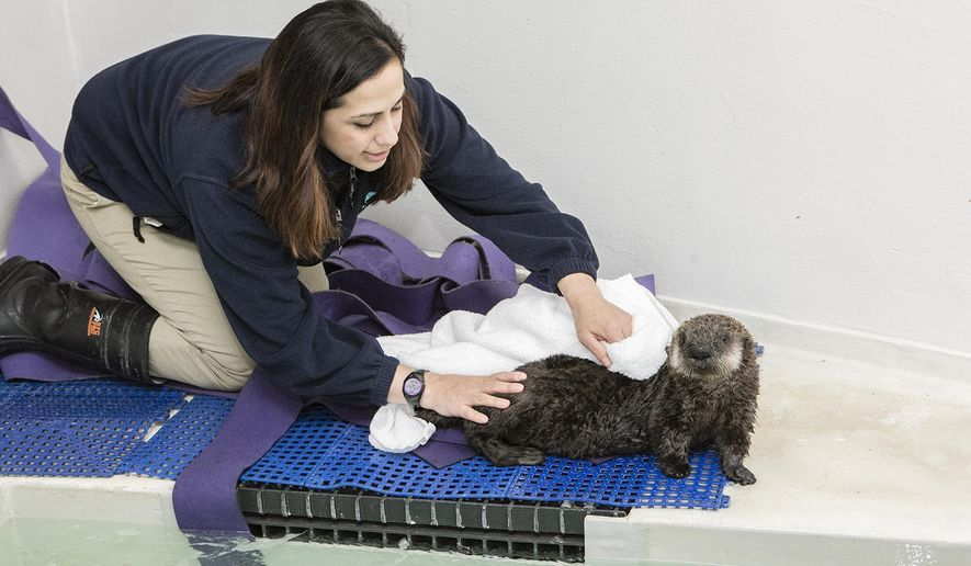In this Jan. 27, 2016 photo provided by the John G. Shedd Aquarium, Christy Sterling, assistant supervisor of penguins and sea otters at the aquarium in Chicago, helps an orphaned southern sea otter pup dry off after swimming in the waters of the Regenstein Sea Otter Nursery in Chicago. The female pup was found alone on Carmel Beach in Carmel, Calif., on Jan. 6., and arrived in Chicago on Jan. 27 from Monterey Bay Aquarium in California. (Brenna Hernandez/John G. Shedd Aquarium via AP) MANDATORY CREDIT