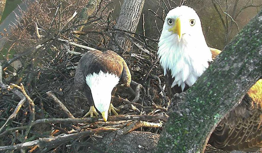 Mr. President and The First Lady sit atop their six-foot nest in the National Arboretum. Their two eggs are due to hatch in mid-March. (2016 American Eagle Foundation, EAGLES.ORG./USNA/Sue Greeley)
