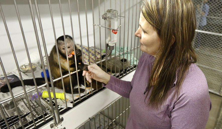 In a Tuesday, Feb. 16, 2016 photo, Angela Zilar, director of Tri-Cities Animal Shelter & Control Services in Pasco, holds fingers with one of two capuchin monkeys that were siezed February 14 from a house in Pasco, Wash. Officials served a search warrant because Washington law has prohibited owning a potentially dangerous wild animal, which would include monkeys, since 2007. Animal control officials are trying to determine whether the monkeys were in the owner's possession before the dangerous animal law took affect.(Bob Brawdy/The Tri-City Herald via AP) LOCAL TELEVISION OUT; LOCAL RADIO OUT KONA