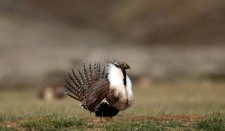 A male sage grouse struts in the early morning hours April 22, 2015 on a lek outside Baggs, Wyoming. Environmental groups sued Thursday, Feb. 25, 2016, to force the Obama administration to impose more restrictions on oil and gas drilling, grazing and other activities blamed for the decline of greater sage grouse across the American West. (Dan Cepeda/The Casper Star-Tribune via AP)