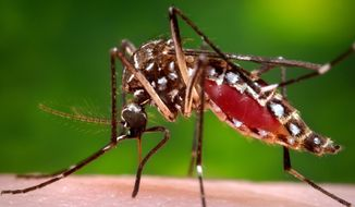 This 2006 photo provided by the Centers for Disease Control and Prevention shows a female Aedes aegypti mosquito in the process of acquiring a blood meal from a human host. (James Gathany/Centers for Disease Control and Prevention via AP) ** FILE **