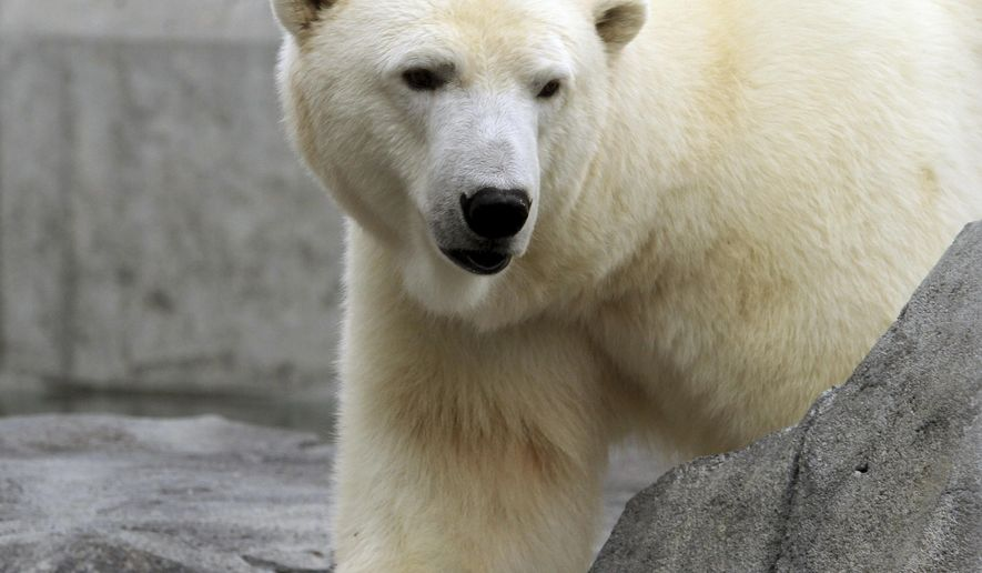 File - In this Sept. 5, 2012 file photo, Ahpun, a female polar bear, strolls around her cage at the Alaska Zoo in Anchorage, Alaska. A federal appeals court says the U.S. Fish and Wildlife Service followed the law when it designated more than 187,000 square miles as critical habitat for threatened polar bears. The 9th Circuit Court of Appeals on Monday reversed a 2013 lower court decision that said the critical habitat designated, an area larger than California, was too extensive and not specific. (AP Photo/Dan Joling, File)