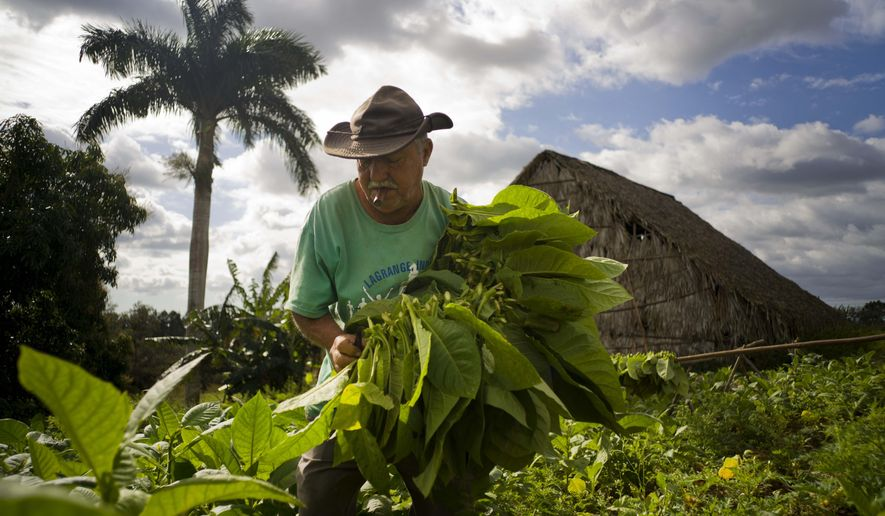 In this Feb. 27, 2016 photo, Raul Valdes Villasusa, 76, smokes a cigar as he collects tobacco leaves on his farm in Vinales in the province of Pinar del Rio, Cuba. Farmers earn money from the government for their tobacco crop, and keep a small portion for their own use. (AP Photo/Ramon Espinosa)