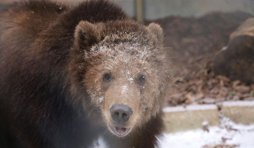 This photo provided by the Toledo Zoo shows a Kodiak bear named Dodge at the Toledo Zoo in Toledo, Ohio.  Dodge, arrived last fall at the zoo.  He's bonded with two female grizzly cubs that were moved from Yellowstone National Park after their mother killed a hiker and was killed. (Toledo Zoo via AP)