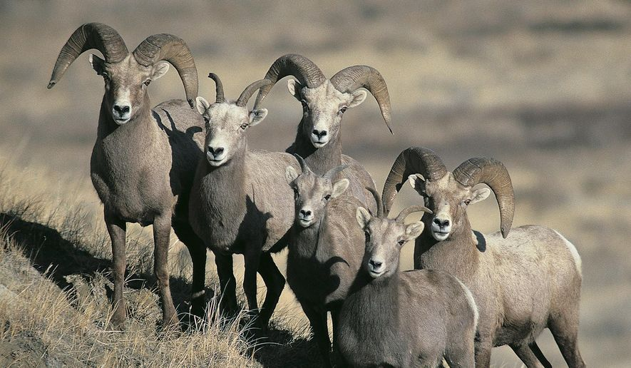 FILE - This undated file photo provided by the North Dakota Game and Fish Department shows a group of bighorn sheep in North Dakota. Bighorn sheep hunting is likely to resume in North Dakota later in 2016. The season was called off last year for the first time in more than three decades due to a 2014 die-off in the Badlands herd caused by disease. (Craig Bihrle/North Dakota Game and Fish Department via AP, File)