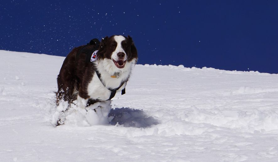 This Feb. 26, 2016, photo shows Wylie, an Australian shepherd, at Tamarack Resort in Tamarack, Idaho. The 9-year-old Australian shepherd is trained to quickly find a person buried by an avalanche. (Chadd Cripe/Idaho Statesman via AP)  LOCAL TELEVISION OUT (KTVB 7); MANDATORY CREDIT