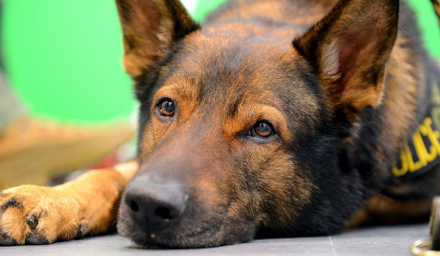 In this March 3, 2016 photo, Ike, a highly trained K-9 unit member of the Bureau of Alcohol, Tobacco and Firearams, lies on the floor of the Lansing State Journal photo studio in Lansing, Mich., during his recovery period after life-saving surgery performed by MSU vets. (Dave Wasinger/Lansing State Journal via AP)