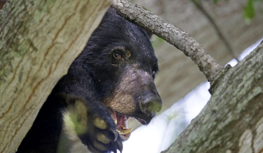 FILE - In this May 17, 2015, file photo, a Louisiana Black Bear, sub-species of the black bear that is protected under the Endangered Species Act, sits in a water oak tree in Marksville, La. U.S. Interior Secretary Sally Jewell said the bear that inspired teddy bears is coming off the list of threatened species. She spoke Thursday, March 10, 2016, at the Tensas River National Wildlife Refuge, which is at the heart of the Louisiana black bear's domain. (AP Photo/Gerald Herbert, File)