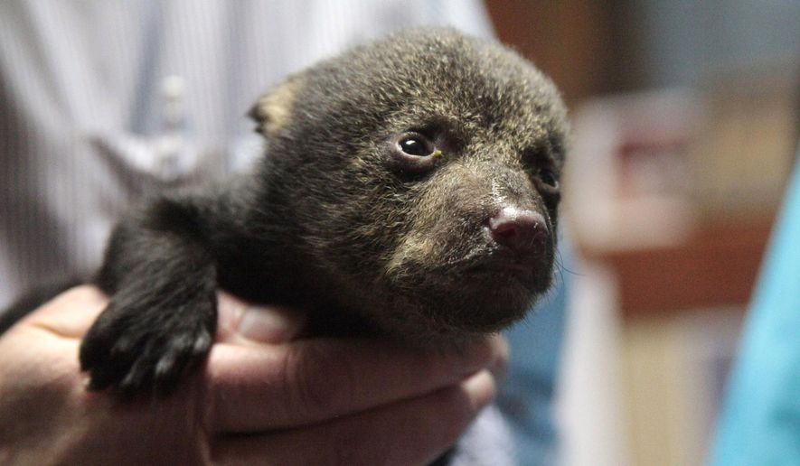 This Thursday, March 10, 2016 photo provided by the U.S. Fish and Wildlife Service shows an orphaned bear cub held by Principle Deputy Undersecretary of the Interior Michael Bean, in Tallulah, La. The bear was rescued after the death of its mother and is expected to be repatriated to a nursing foster bear in the wild. (Tom MacKenzie/USFWS via AP)