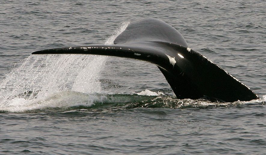 FILE - In this April 10, 2008 file photo, a North Atlantic right whale dives in Cape Cod Bay near Provincetown, Mass. The endangered whales increasingly are frequenting the bay, enticed by the fine dining possibilities of its plankton-rich waters. They foraged in the bay for centuries, where their numbers were decimated when whalers hunted them for their oil and plastic-like baleen bone. For a stretch in the late 1990s, fewer than 30 whales were sighted each year. (AP Photo/Stephan Savoia, File)