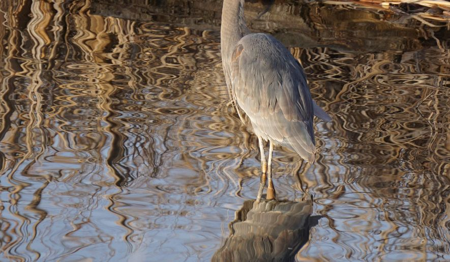 In this Wednesday, March 2, 2016 photo, a great blue heron wades in a pond at Marianne Williams Park in Boise, Idaho. A group of people interested in bird watching could learn how to look for basic identifying marks for common species found in the area, like red-tailed hawks, great horned owls and singing sparrows in education programs. (Darin Oswald/Idaho Statesman via AP) LOCAL TELEVISION OUT (KTVB 7); MANDATORY CREDIT