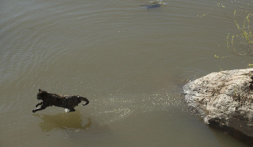 One of the cats stranded by flood waters runs across the  Sacramento River near the Tower Bridge on Tuesday, March 15, 2016 in Sacramento, Calif.   Two cats were rescued after high flood waters left them stranded in trees half-submerged in the river. The animals were eventually saved when the Sacramento Fire Department organized a water rescue, using a small boat and ladder. In the background a turtle swims away.   (Randall Benton/The Sacramento Bee via AP)  MAGS OUT; LOCAL TELEVISION OUT (KCRA3, KXTV10, KOVR13, KUVS19, KMAZ31, KTXL40); MANDATORY CREDIT