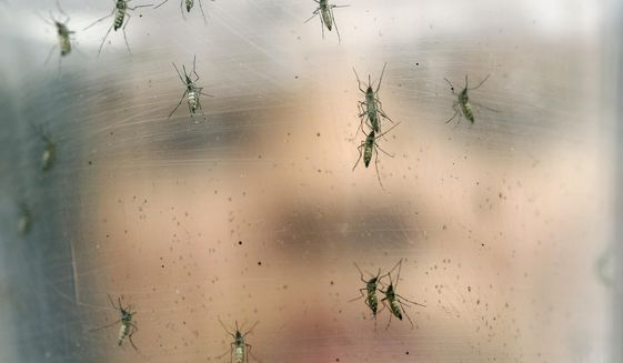In this Jan. 18, 2016, file photo, a researcher holds a container of female Aedes aegypti mosquitoes at the Biomedical Sciences Institute at Sao Paulo University in Brazil. The Zika virus is mainly transmitted through bites from the same kind of mosquitoes that can spread other tropical diseases, like dengue fever, chikungunya and yellow fever. (AP Photo/Andre Penner, File)