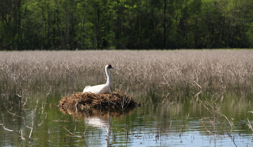 In this March 2015 photo provided by the Louisiana Department of Wildlife and Fisheries, a female whooping crane incubates her eggs in Avoyelles Parish, La. In 2016, four pairs of the cranes have laid eggs, equaling the previous year's total, and biologists say there's a good chance of doubling that number. (Phillip Vasseur/Louisiana Department of Wildlife and Fisheries via AP)