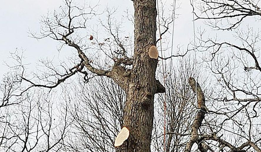 ADVANCE FOR MONDAY MARCH 21 AND THEREAFTER - In a March 9, 2016 photo, Bart Howard, at the top of the tree, lowers a large branch to employee Lucas Sandoval while taking down a large white oak tree that grew too close to a house in Muscatine, Iowa. Howard is the owner/operator of Howard Forest and Prairie and does everything from tree trimming to tree injections and natural resource management.   (Beth Van Zandt/Muscatine Journal via AP) MANDATORY CREDIT