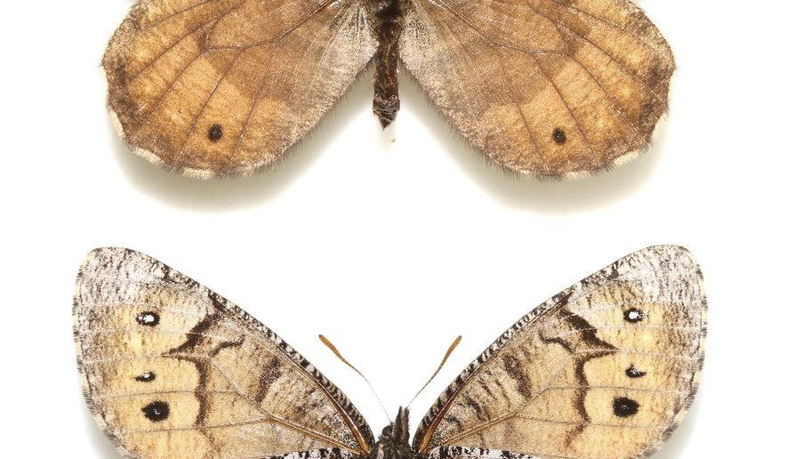 This undated image provided by lepidopterist Andrew Warren shows the newly discovered Tanana Arctic butterfly. Research by Warren released on March 15, 2016 suggests that the newly discovered species evolved from the offspring of two related butterfly species, and he thinks all three lived in the Beringia region between Alaska and Russia before the last ice age. (Andrew Warren/Florida Museum of Natural History via AP)